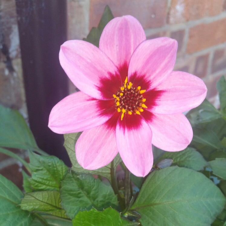 Plant image Dahlia 'Happy Single™ Wink'