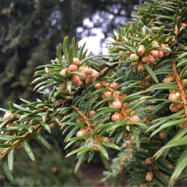 Plant image Taxus baccata