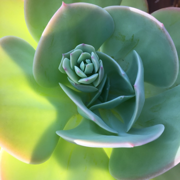 Plant image Echeveria Lawrence