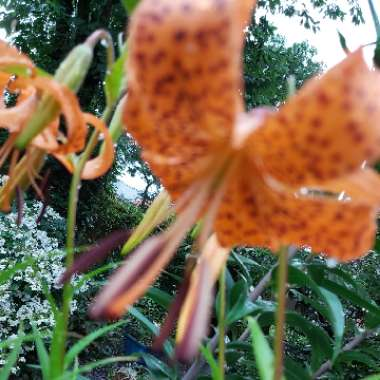 Lily (Species) Tiger Lily