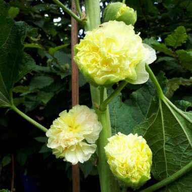 Hollyhock 'Chater's Double Yellow'