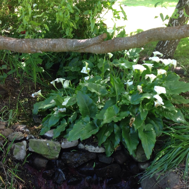 Zantedeschia Aethiopica White Giant Arum Lily White