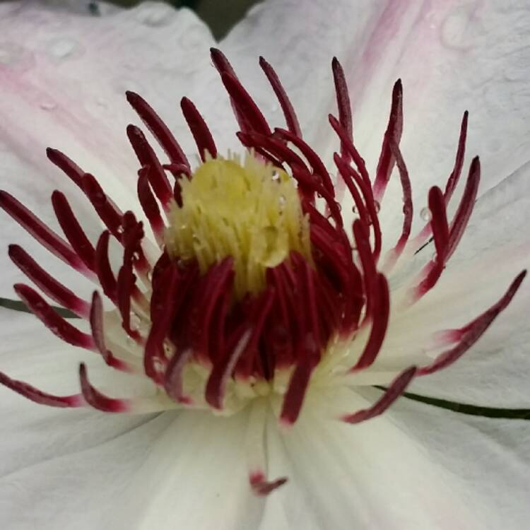 Plant image Clematis 'Paradise Queen'