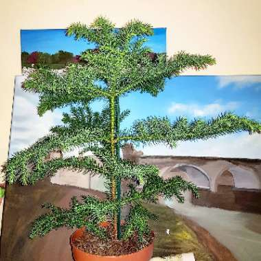 Norfolk Island Pine Indoor