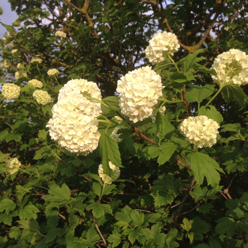 viburnum opulus 39 roseum 39 syn 39 sterile 39 european snowball bush uploaded by xandie. Black Bedroom Furniture Sets. Home Design Ideas
