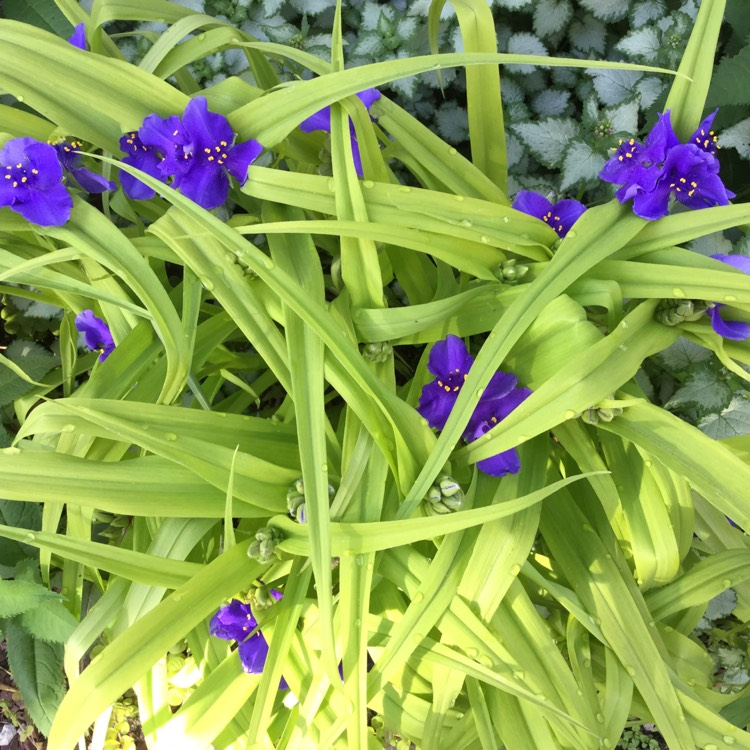 Plant image Tradescantia (Andersoniana Group) 'Sweet Kate'