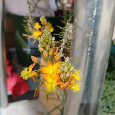Orange Stalked Bulbine