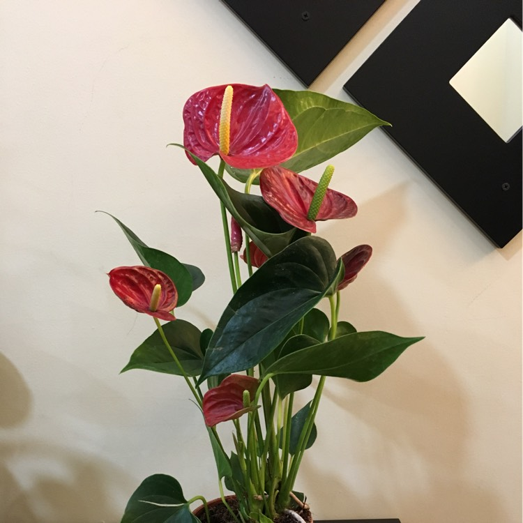 Plant image Anthurium (Andraeanum Group)