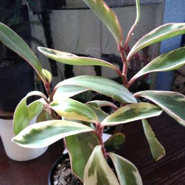 Variagated 'Red Edge' Peperomia