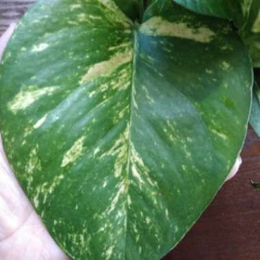 Devil's Ivy, Golden Pothos