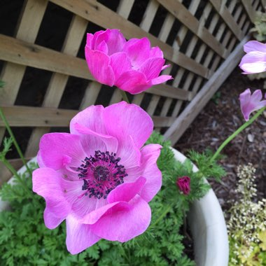Anemone 'Red Riding Hood'